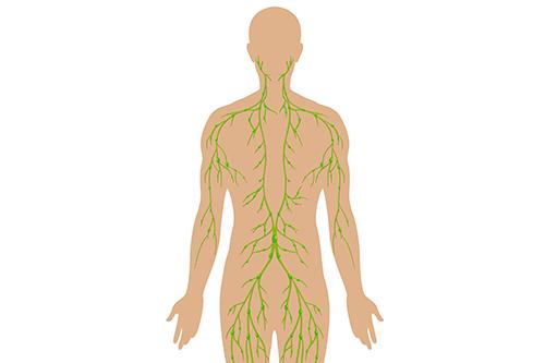 リンパ管人体