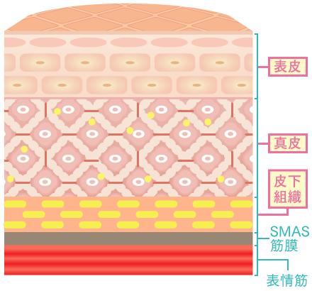 表皮、真皮、皮下組織、SAMS筋層、